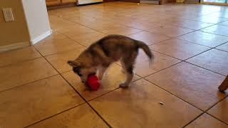 Super-Cute Siberian Husky Puppy Plays With Cup